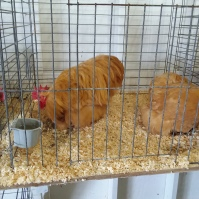 Chickens at the Expo