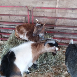 Goats at the Expo