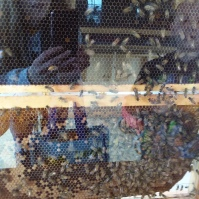 Honeybees at the Expo