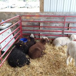Lambs at the Expo